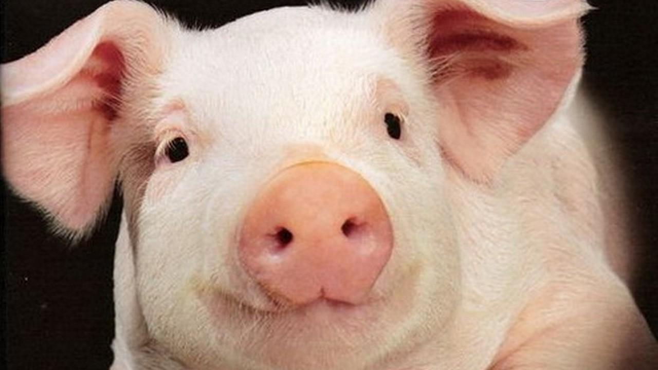 Свиньи как бизнес — разведение и выращивание